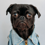 Image of a pug dressed in denim